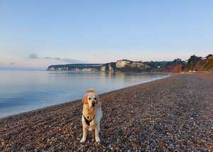A golden retriever stood on the rocky beach at Seaton with the sunrise in the background